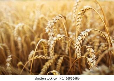 Wheat harvest. Harvesting wheat ears. Agriculture season. Ripe wheat in sunlight.