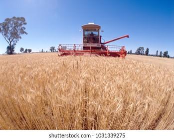 Wheat harvest harvesting near Forbes, NSW, Australia.