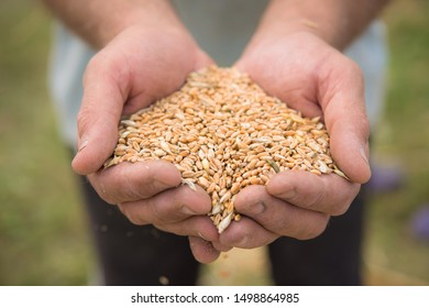 Wheat harvest in village on field. Farmers manually clean the harvested grain. Rural agriculture background.
