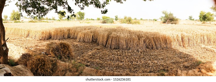 Wheat harvesting and destroyed crop in Indian field and doing hard work in our field . This image representing the life of Indian farmer. In this image you can see e destroyed crop and many trees.