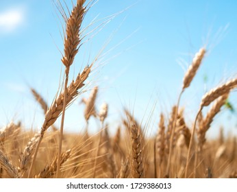 Wheat harvesting in the summer. Golden ear of ripe wheat on the field.