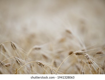 Wheat Heads Some In Focus Some Out of Focus Foreground and Background