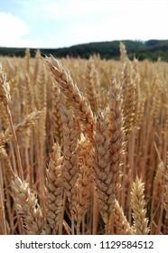 Wheat immediately before harvest time