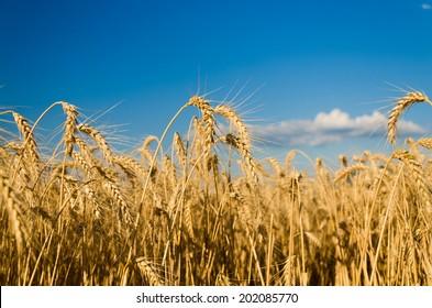 wheat land background