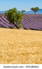 Wheat and lavender fields with trees in Valensole in summer. Alpes de Hautes Provence, PACA Region, Southern French Alps, France