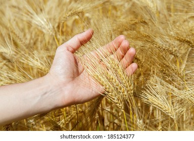 wheat is in a man's hand