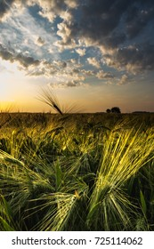 wheat oats field