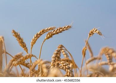 wheat on a blue sky background