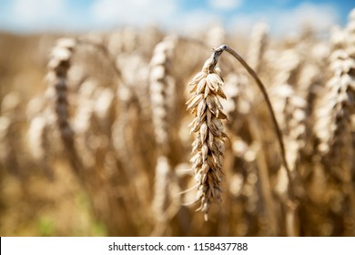 Wheat on field background on a sunny day. Harvesting. Agricultural background with copy space.