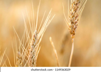Wheat on the field, close-up.