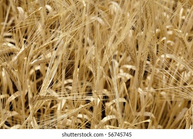 wheat on field, detail