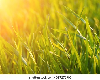 Wheat on a field - natural soft light eco background