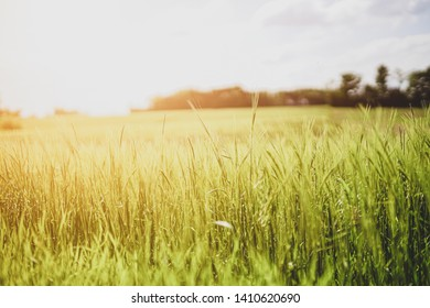 Wheat on the field on a summer's day