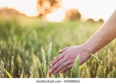 Wheat on hand. Plant, nature, rye. Crop on farm. Stem with seed for cereal bread. Agriculture harvest growth. Yellow golden rural summer landscape. Ripe food.
