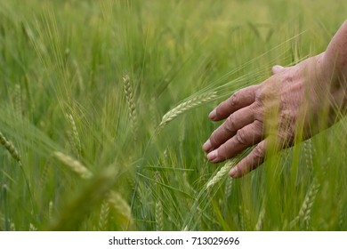 Wheat on hand. Plant, nature, rye. Crop on farm. Stem with seed for cereal bread. Agriculture harvest growth. Yellow golden rural summer landscape. Ripe food