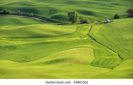 Wheat and peas in late Spring in the fields and rolling hills of the Palouse