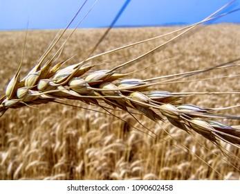Wheat plant on field in Brazil
