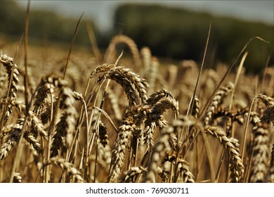 Wheat plants, close up