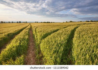 Wheat plants on an agricultural field in summer