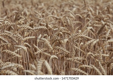 Wheat ready to harvest on the summer on a field