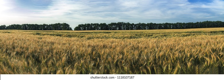 Wheat Rye Field with blue cloudless sky. Ripe barley on the field on late summer afternoon, sunset backlight, with white fluffy clouds. Wonderful image for ecological concept