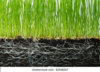 Wheat seedlings and Soil