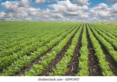 wheat and soybean fields