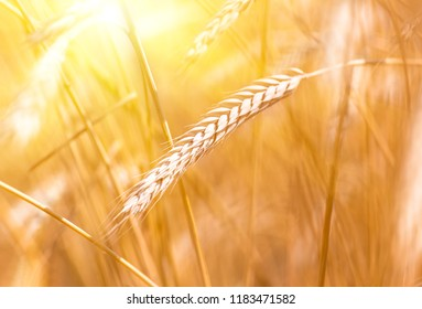 wheat spica closeup in a wheat field during the sunset when the harvest is ripe, agricultural background