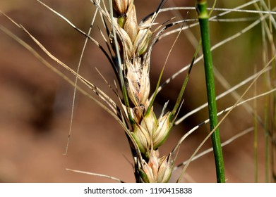 Wheat spike contamined