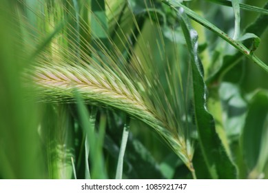 Wheat spike / Espiga de Trigo