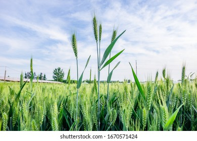 The wheat spike in the field under the sky