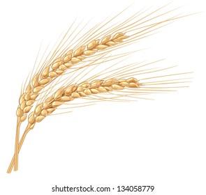 wheat spikelets illustration