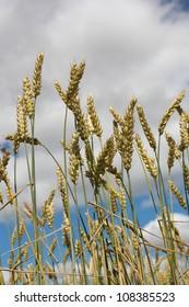 Wheat spikes against sky.