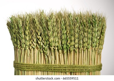 Wheat spikes, dry, green bandaged with string, textured on white background