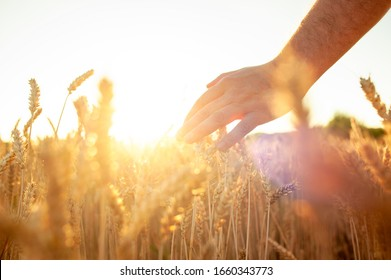 Wheat sprouts in a farmer's hand.Farmer Walking Through Field Checking Wheat Crop.