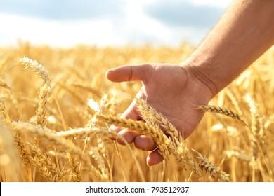Wheat sprouts in a farmer's hand.Farmer Walking Through Field Checking Wheat Crop