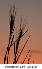 Wheat stalks against a texas morning sky