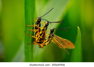 Wheat stem sawflies mating on crops.  Photographed in Montana, USA.