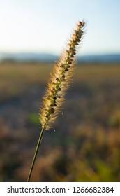Wheat in Studen, Switzerland