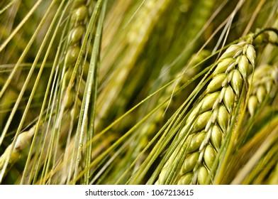 Wheat in summer