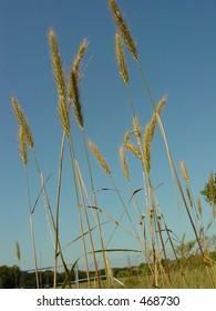 Wheat in the sun