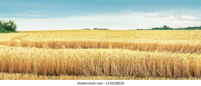 Wheat and sun under blue sky. Panoramic view.