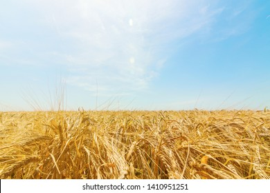 Wheat and sun under blue sky