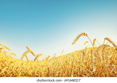 Wheat wave under blue sky