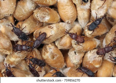 wheat weevil Sitophilus granarius beetles on damaged grain