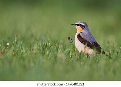 wheatear in a meadow, closeup view