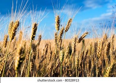 Wheat-ears in the wheatfield