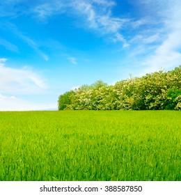 wheaten field, blue sky and locust tree.