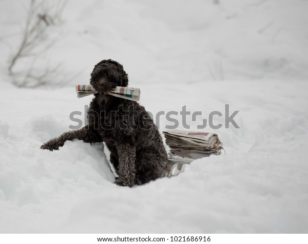 Wheaten Terrier dog pulling an antique wooden sled piled with newspapers in the snow.