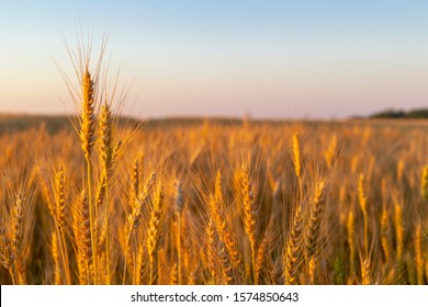 Wheatfield of gold color in sunset during harvest.